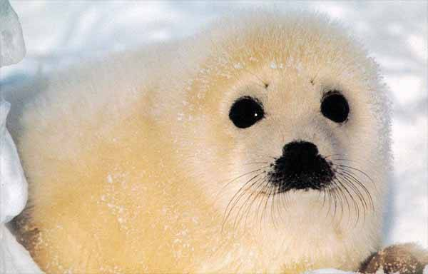 bebé foca