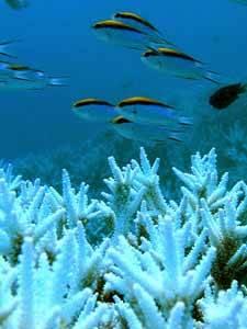 blanqueo de la gran barrera de coral del Pacífico