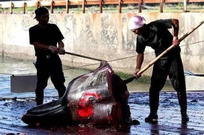 cabeza de delfín degollado