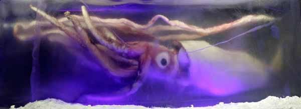 calamar gigante, Melbourne aquarium