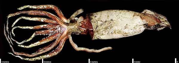 calamar gigante, foto NASA