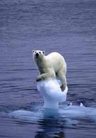 calentamiento global, extición oso polar ártico