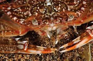 especie de cangrejo de las islas Canarias