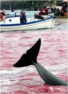 caza ballenas en las isalas Feroe