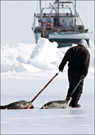 cazador de focas se dirige a su barco