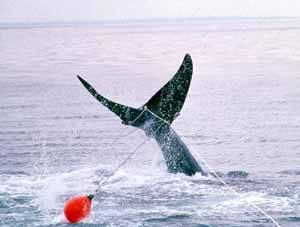 cetáceo enredado