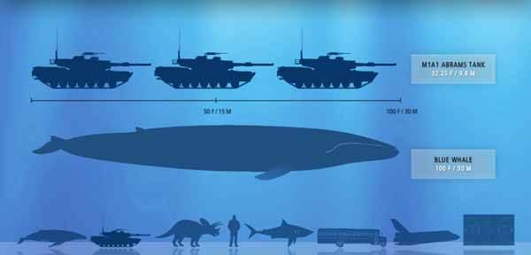comparación medida Ballena azul y tanke