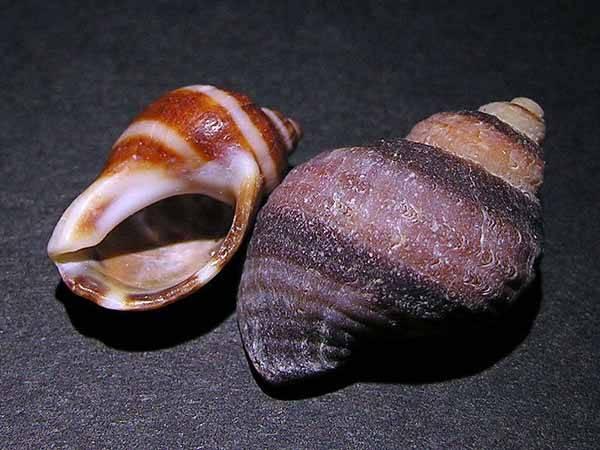 conchas marinas de Galicia