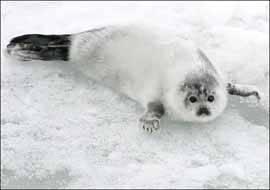 cria de foca arpa
