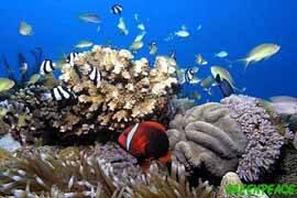 decoloración corales por la acidificación del océano