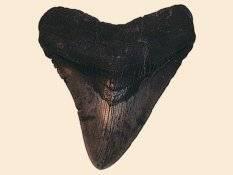 diente fosilizado de tiburón