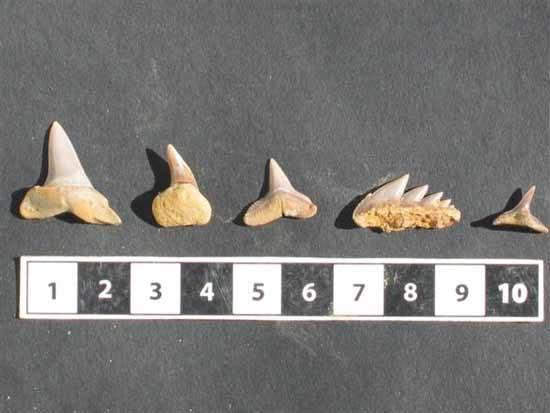 dientes fósiles de tiburón, Huelva