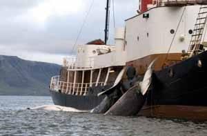 dos ballenas cazadas junio 2009 en Islandia