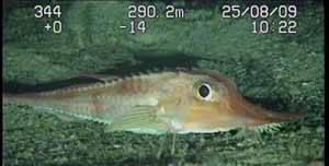 especies nuevas Canarias 2009 Oceana