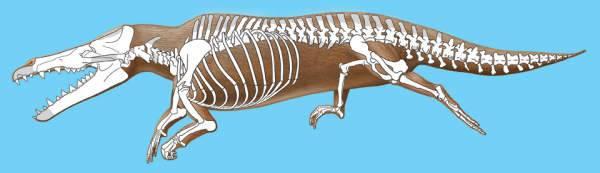 recreación del esqueleto del maiacetus inuus
