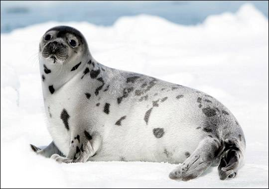 foca arpa del ártico
