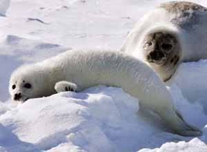 madre y cria de foca arpa