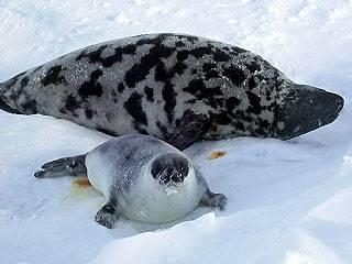 focas, biodiversidad marina