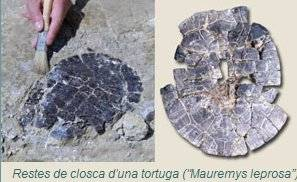 fósiles tortuga (mauremys leprosa)