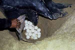 huevos tortuga marina