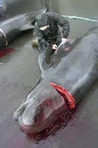matanza de ballenas, islas Feroe