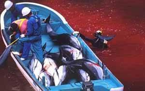 matanza delfines en Taiji, Japón