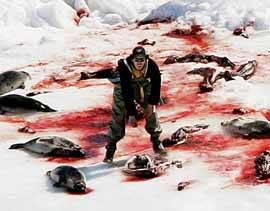 deshollando focas en Canadá