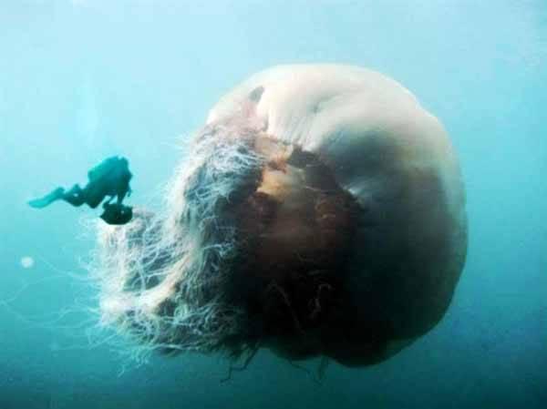 medusa gigante echizen kurage, Japón