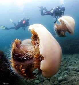 Los buzos analizan a las medusas gigantes