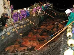 Las medusas gigantes causan problemas a los pescadores en Japón