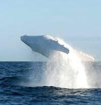 Migaloo, la ballena blanca, realizando un salto