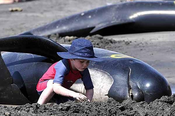 Un niño ayuda a una ballena varada, Tasmania