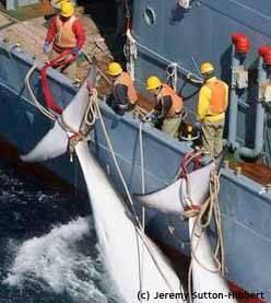 caza de ballenas flota japonesa