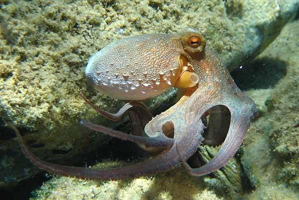 Octopus vulgaris (pulpo común)