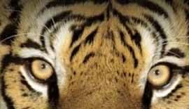 La belleza en los ojos del tigre