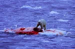un oso polar devora a una foca