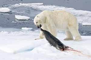 oso polar da caza a una foca