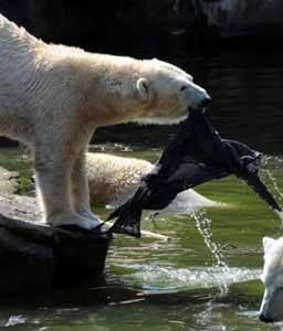 oso polar desgarra el sueter de la mujer