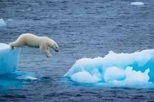 Un oso polar salta entre hielos