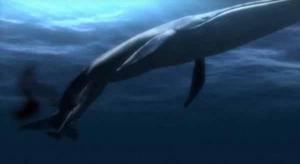 parto de una Ballena azul