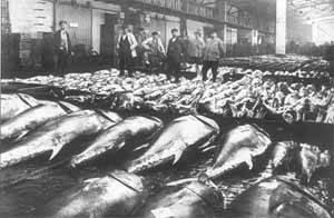 pesca de atún en una lonja en 1910