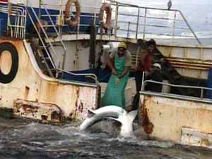pesca de tiburón