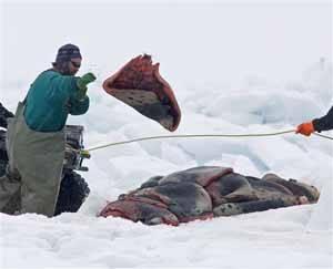 cazadores amontonado pieles de foca
