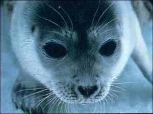 Pusa hispida (foca ocelada)