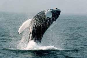 impresionante salto de una ballena