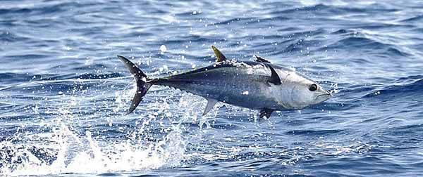 salto de un atún rojo del Mediterráneo