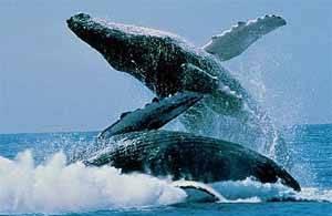 saltos de ballenas jorobadas