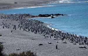 pingüinos (spheniscus magellanicus)
