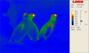 termografía pingüinos