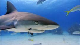 tiburón con anzuelo en la boca